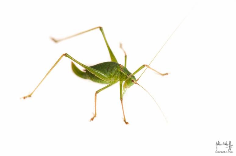 Grasshopper evolution