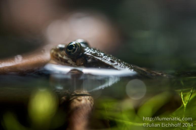 Frog evolution